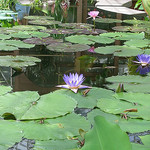 """""""Lily Pads"""" by umjanedoan  is licensed under CC BY 2.0"""