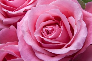 """""""rose"""" by stux is licinsed under CCO 1.0"""