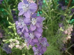 Larkspur - For beautiful spirit